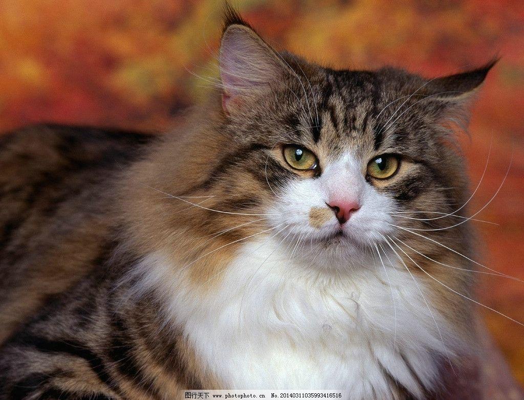 猫咪 白猫 宠物 动物 可爱 高清 摄影 小猫 胖猫 花猫 黑猫