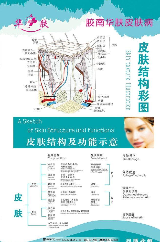 皮肤结构图psd图片