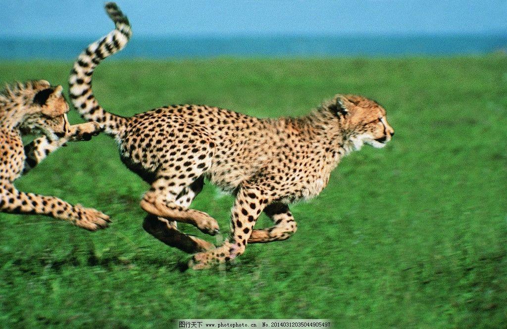 奔跑的豹子图片,草原 两只豹子 瞬间 英气 摄影-图行