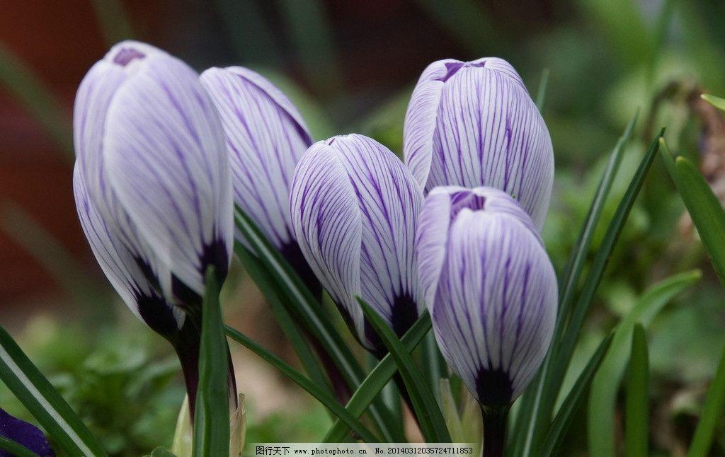 番红花 紫色小花 美丽的花 可爱的花 微距花 漂亮的花 花草 生物世界