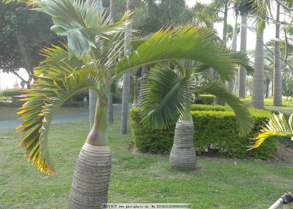 椰子树 单个椰子树 椰子树素材