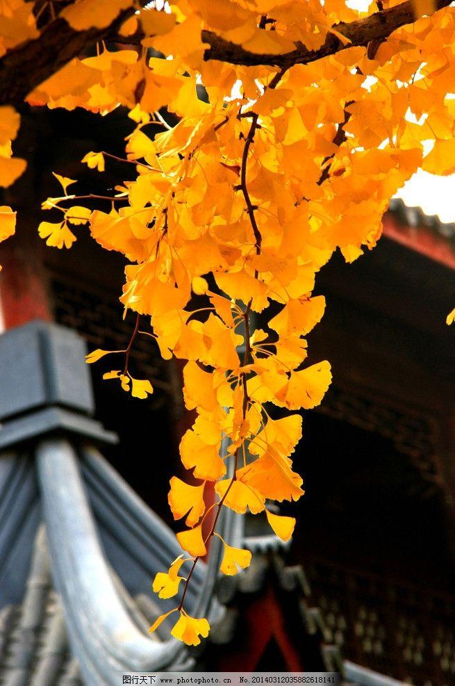 秋天银杏 银杏 银杏树叶子 摄影 黄色杏叶 树木树叶 生物世界 72dpi