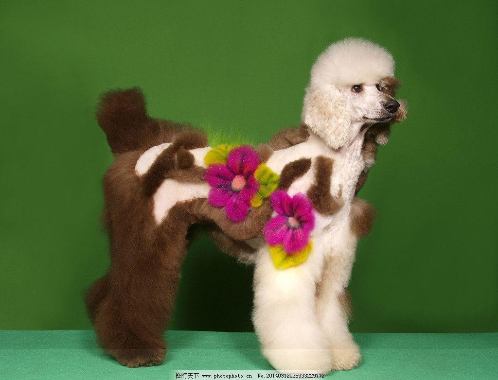 艺术 贵宾犬/贵宾犬的艺术美容图片