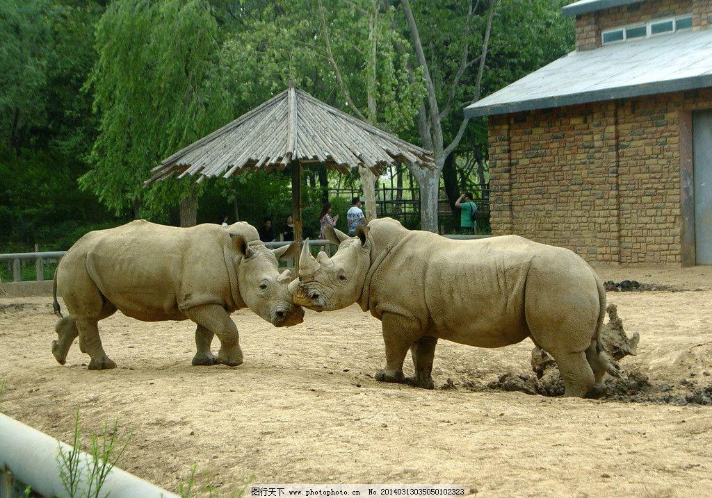 犀牛 犀牛图片素材下载 白犀牛 野生动物 动物世界 濒危野生动物
