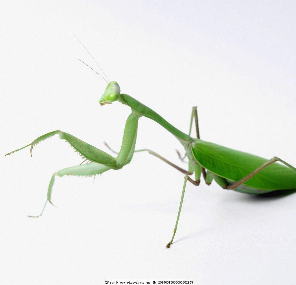螳螂 蟷螂 刀螂 蜱蛸 昆虫纲螳螂目 野生动物 生物世界 摄影 300dpi