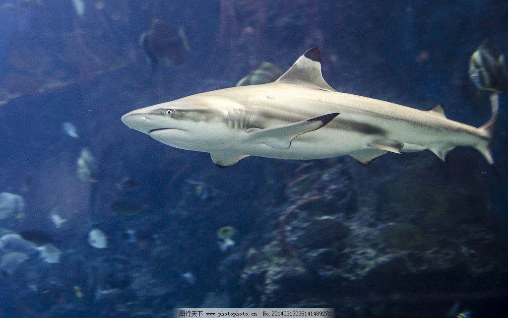 鲨鱼 海洋 海底 动物 鱼 深海鱼 鲸鱼 大海 潜水 自然 水下摄影 生物