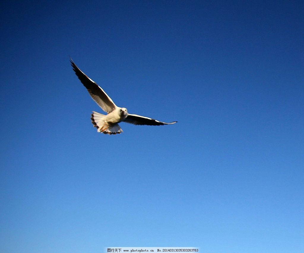 翱翔 海鸥 天空 蓝天 在天上 自由 鸟类 生物世界 摄影 350dpi jpg