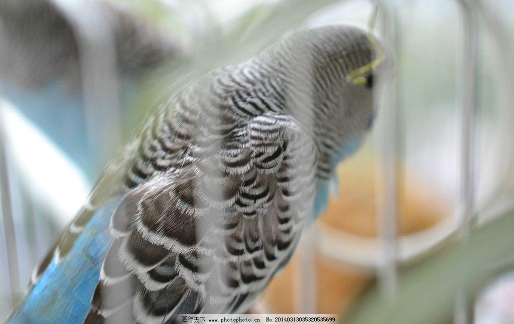 关在笼子里的蓝色鹦鹉图片