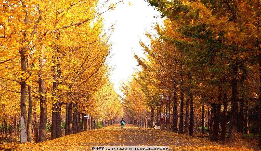 银杏路 银杏林 银杏 银杏叶 金色 黄金铺地 树木树叶 生物世界 摄影 7
