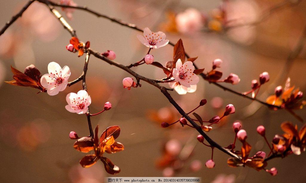 桃花 树枝 春天桃花 樱花 春天背景 春景 摄影 花草 生物世界 300dpi