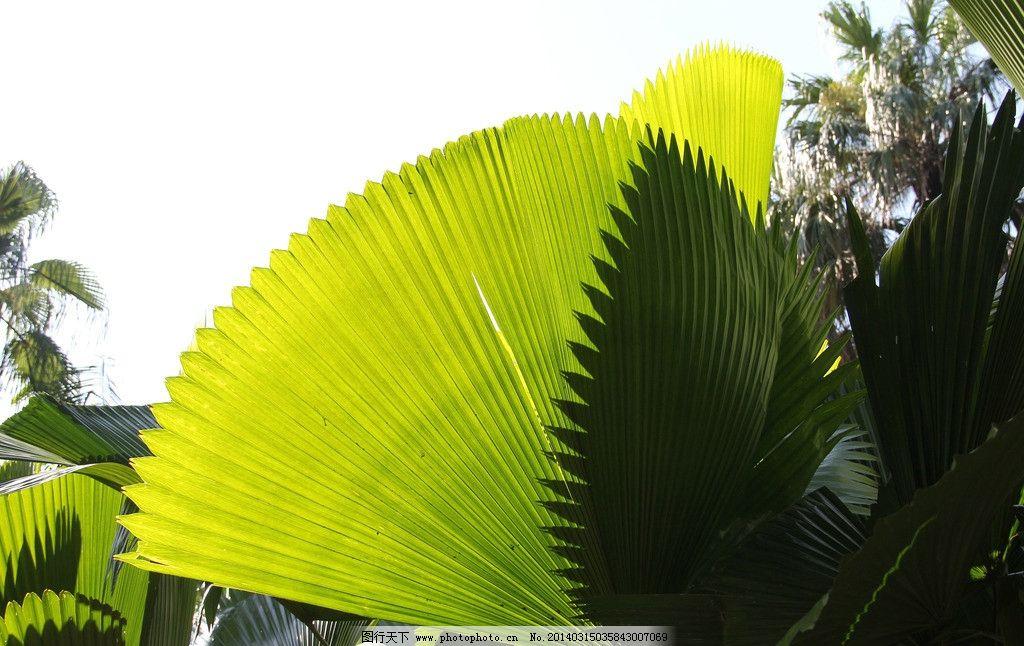 树叶 绿叶 扇形叶子 绿色 通透 树木树叶 生物世界 摄影 72dpi jpg