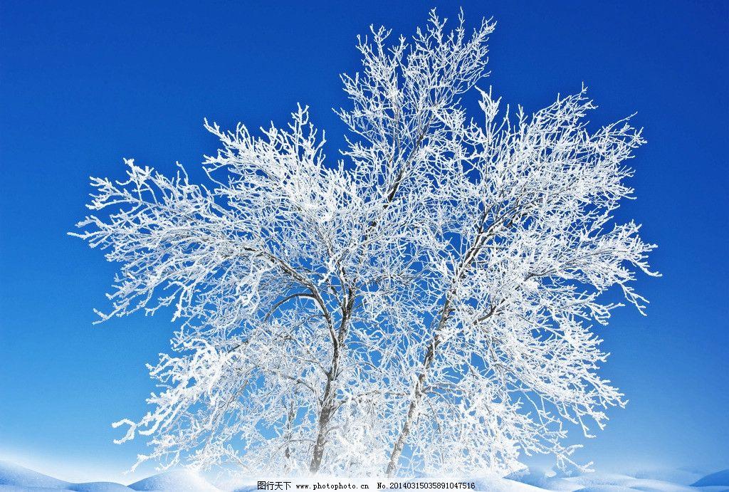 树枝 雪地 蓝天 美丽 冬天 冬季 树木 树挂 树枝树木树叶绿树 树木