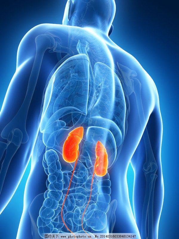 身体器官x光片-高清 结构 轮廓 人体 肾 透视 腰子 医用 医生