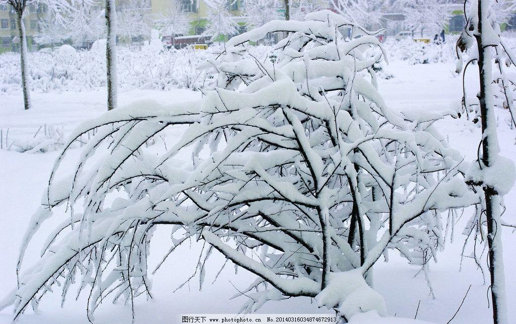 东北 大雪压青松