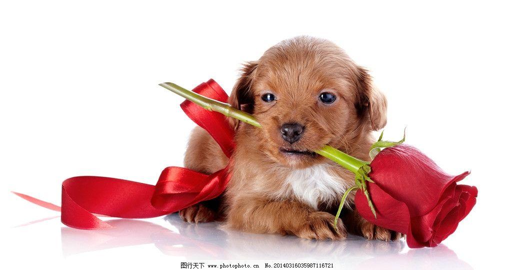 小狗 萌狗狗 玫瑰花 红色丝带 萌宠 宠物 可爱 红玫瑰 动物
