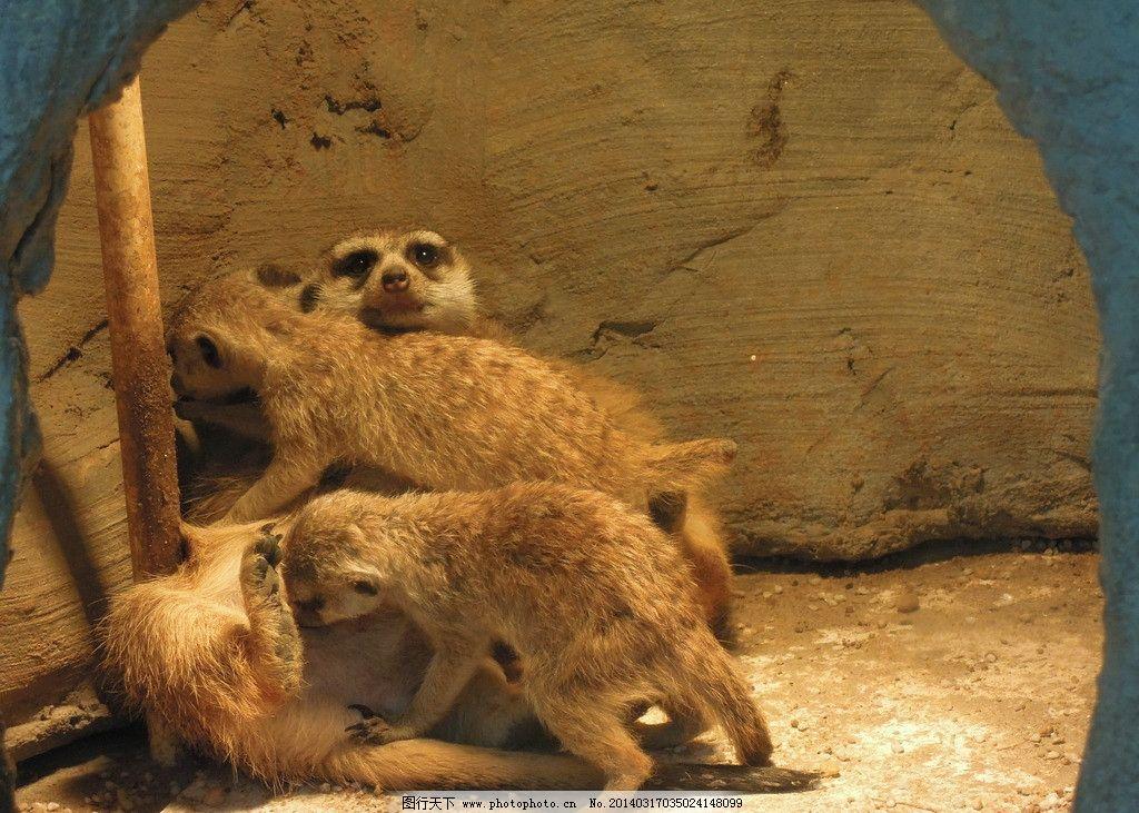 抱团取暖的狐獴图片图片
