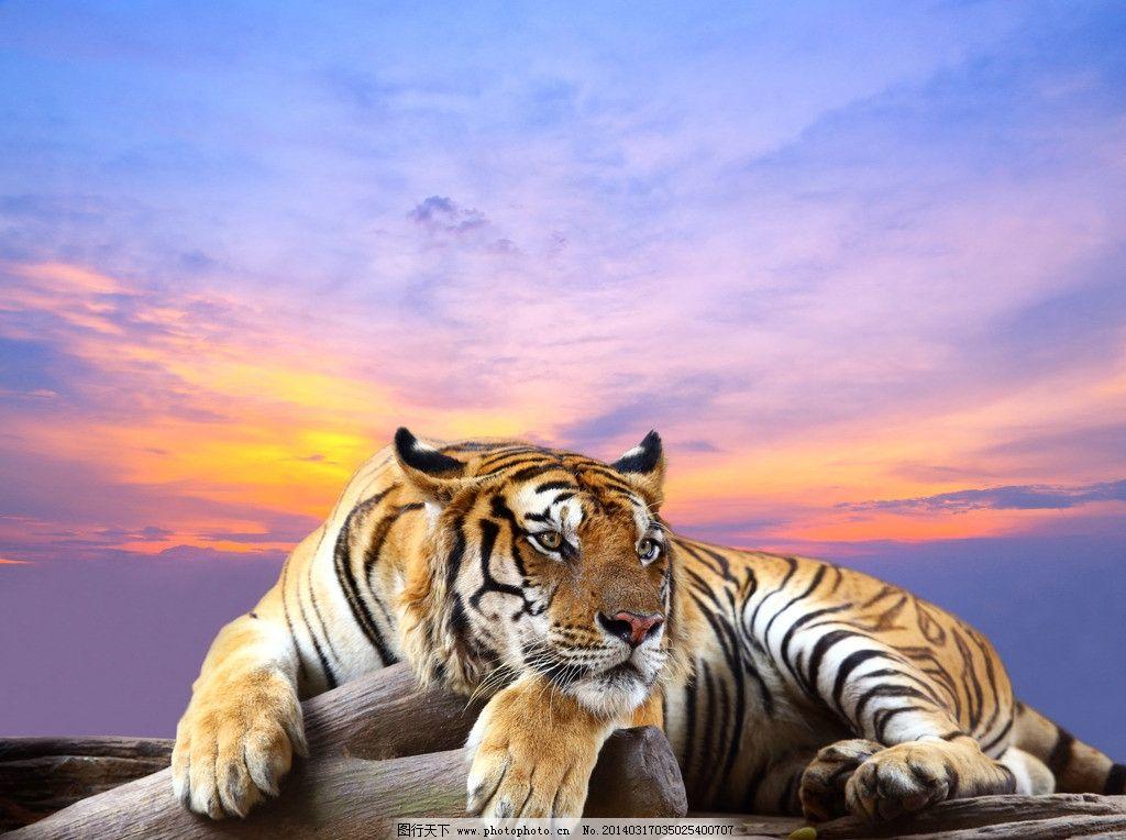 老虎 东北虎 动物 野生动物 保护动物 小动物 生物世界 摄影 300dpi