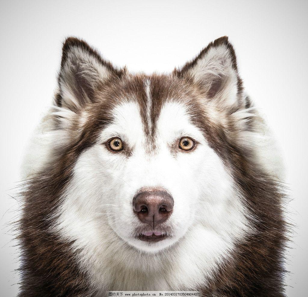 哈士奇 狼 雪橇犬 动物 野生动物 保护动物 小动物 生物世界 摄影 300