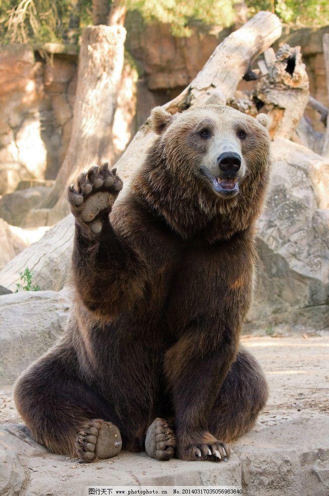 棕熊 野熊 动物 野生动物 保护动物 小动物 生物世界 摄影 300dpi jpg