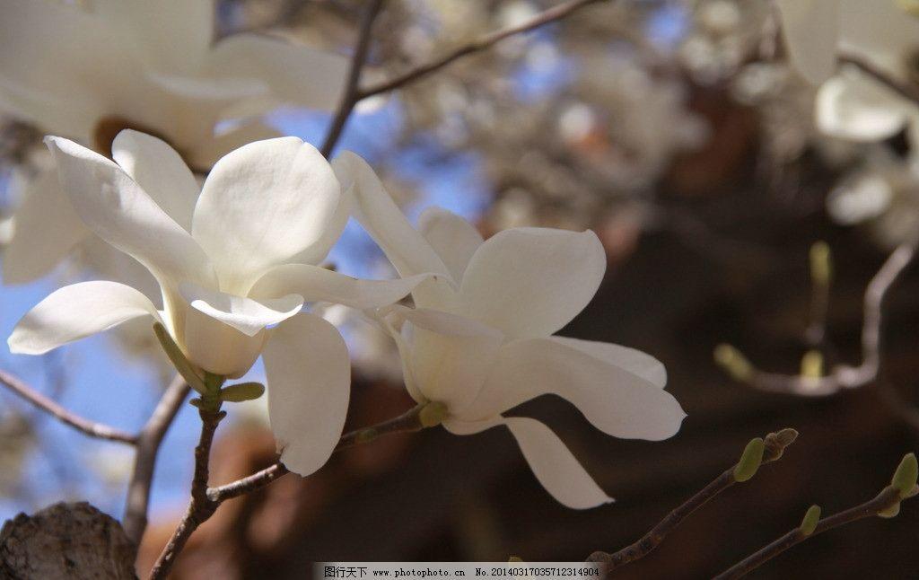 玉兰花 白玉兰 玉兰树 盛开白玉兰 故宫白玉兰 花草 生物世界 摄影 72