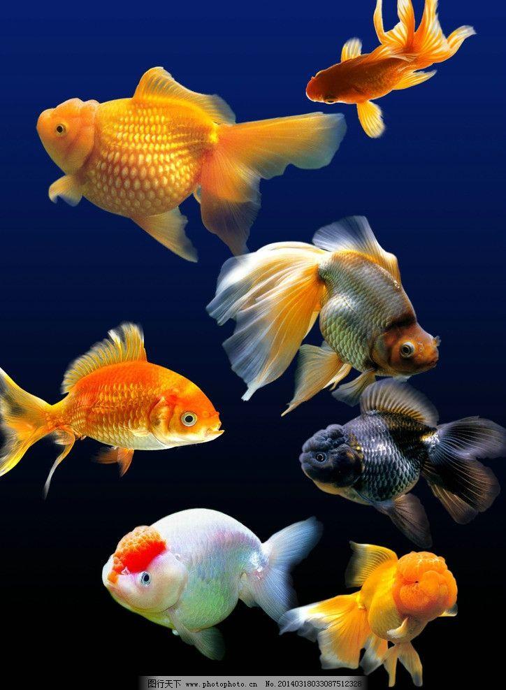 金鱼 分层 金鱼素材 动物素材 背景 源文件