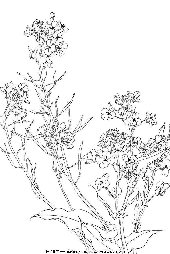 手绘线描油菜花图片