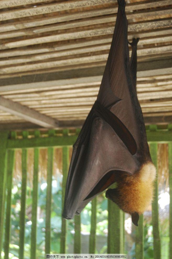 印尼大蝙蝠 印度尼西亚 巴厘岛 野生 动物 大蝙蝠 野生动物 生物世界