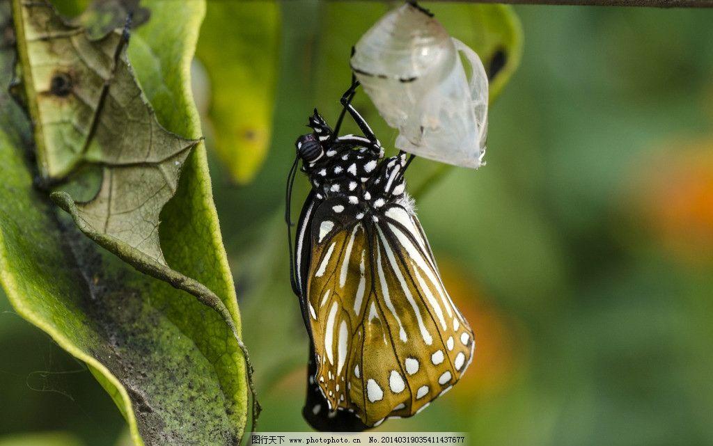 蝴蝶 破茧而出 蝴蝶图片素材下载 高清蝴蝶 采蜜 授粉 彩蝶 摄影
