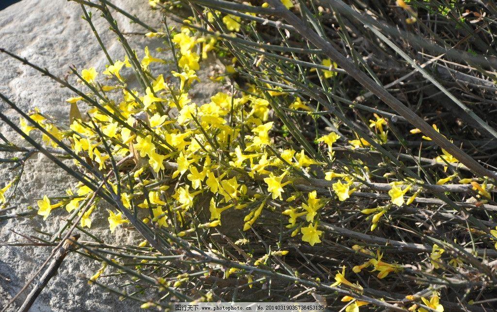 迎春花 花素材 春天的花 春季花 野花 黄花 植物 生物 鲜花