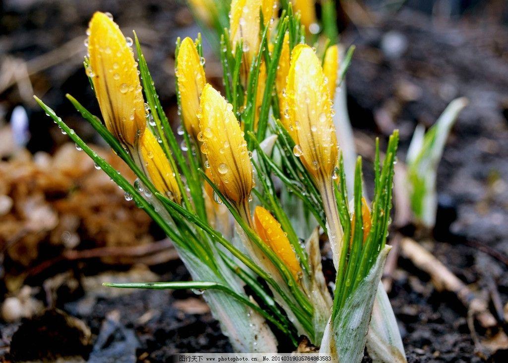 黄花 春天 花朵 花儿 花枝 露水 春光 花蕾 春天花朵 花草