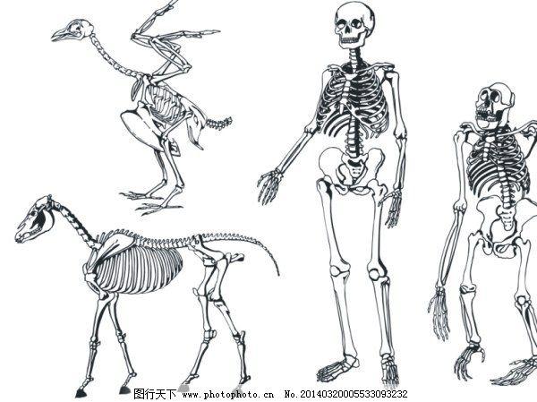 骨骼骨架矢量素材 骨骼骨架矢量素材免费下载 动物 结构 人体骨架