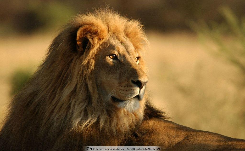 雄狮 非洲 草原 狮子 公 霸气 鬃毛 野生动物 生物世界 摄影 300dpi j