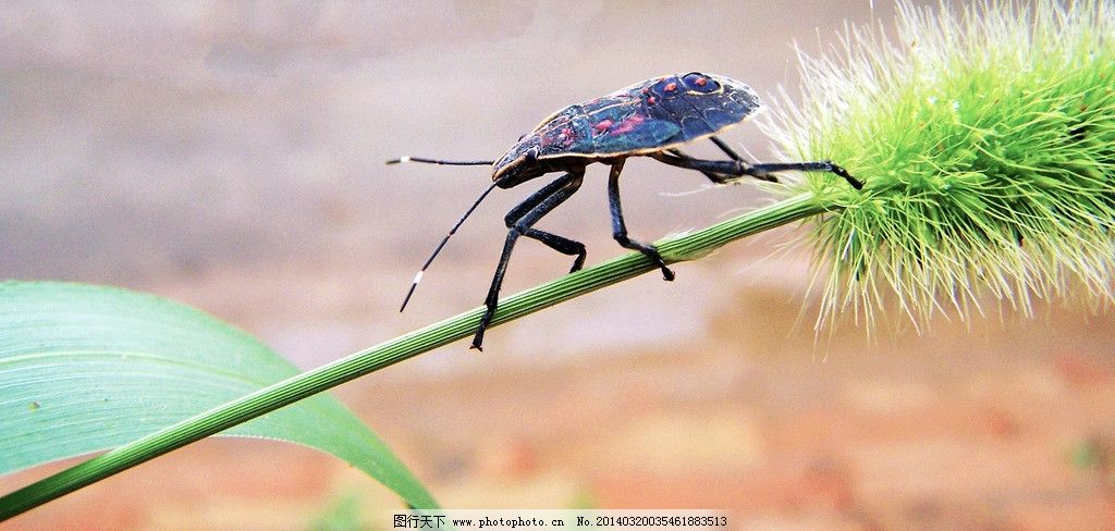 谷穗昆虫 摄影 昆虫 蝈蝈 节肢动物 原创图片 生物 动物 昆虫蝈蝈