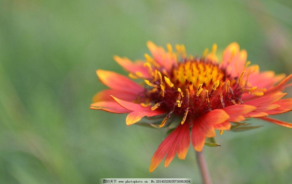 野雏菊 漂亮的 花儿 自然