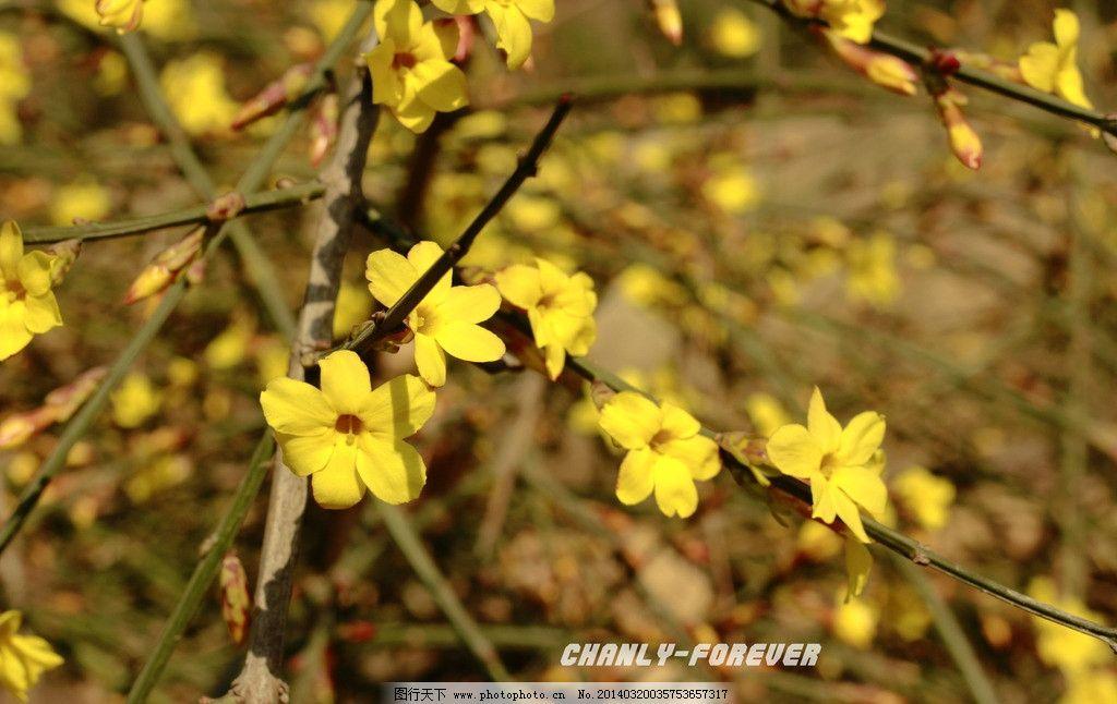迎春花 植物 花 春天 树 花草 生物世界 摄影 72dpi jpg