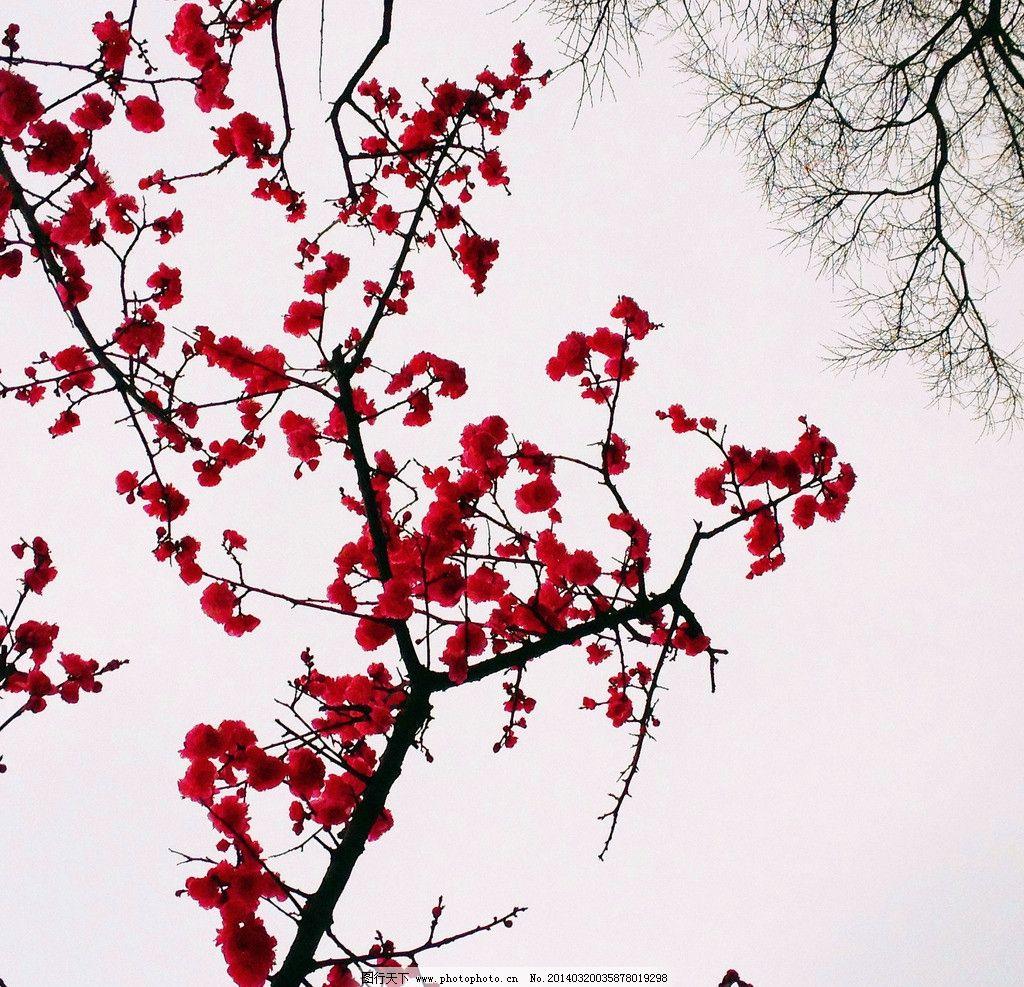 梅花 紅花 樹 粉紅 玫紅 清新 紅 花 水墨 畫 古典 樹木樹葉 生物世圖片