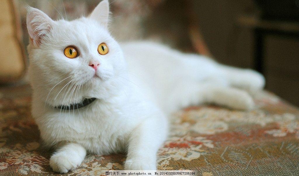 白猫 动物 猫咪 宠物 可爱猫 摄影