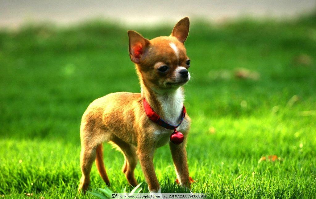 吉娃娃小狗 吉娃娃 小狗 嬉戏 玩耍 可爱 家禽家畜 生物世界 摄影 180
