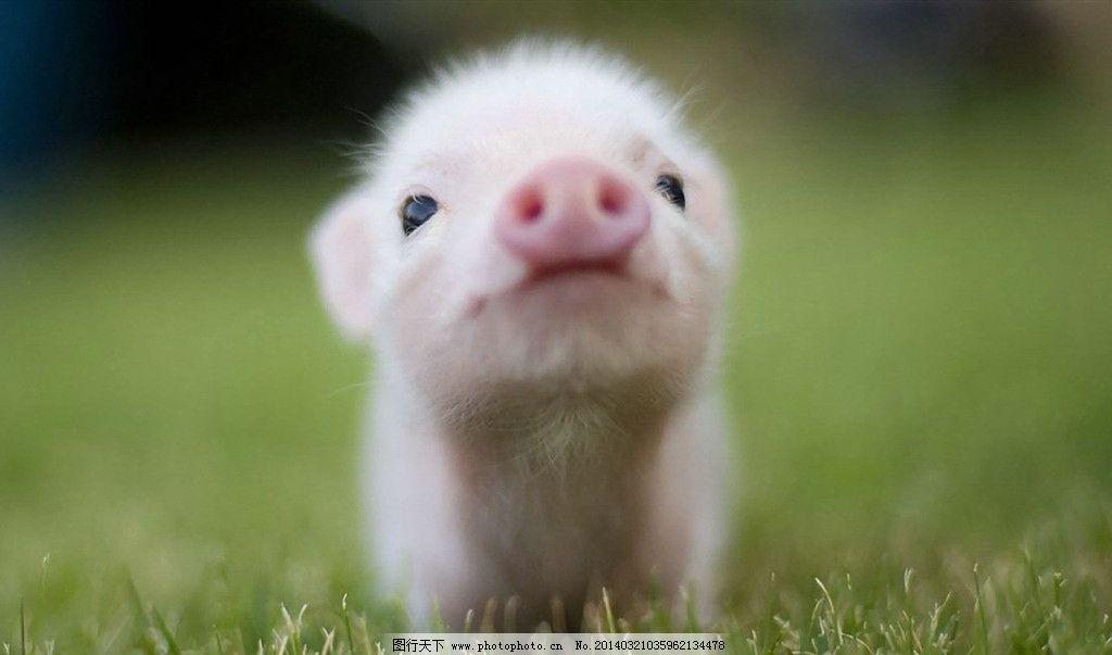 小猪 萌宠 呆萌 黑眼 白毛 猪鼻 家禽家畜 生物世界 摄影 96dpi jpg