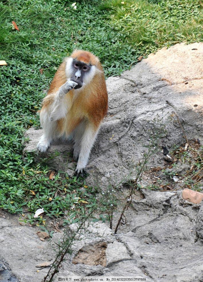 猴子 长尾猴 猴子吃东西