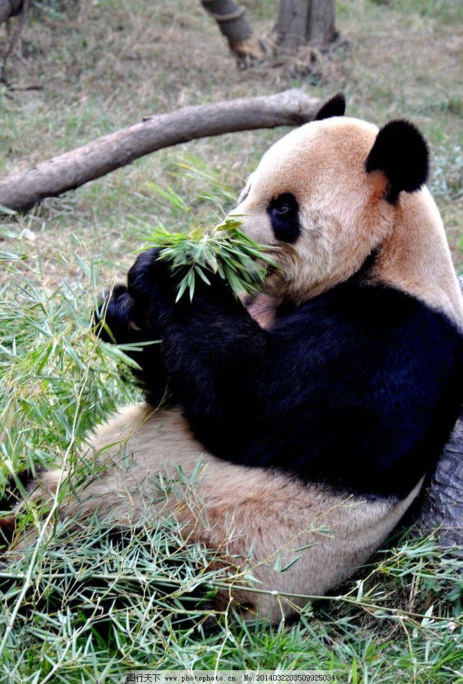熊猫 竹子 熊猫吃竹子 动物 国宝 保护动物 南昌动物园 野生动物 生