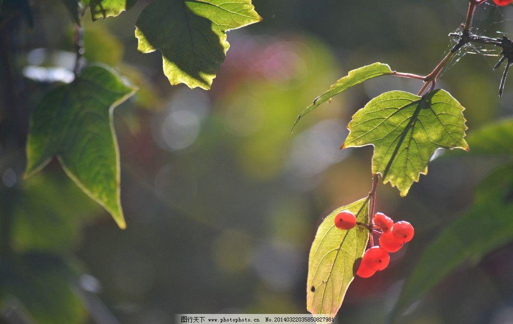绿红果实 叶子 果实 红色 绿色 植物 树木树叶 生物世界 摄影 300dpi