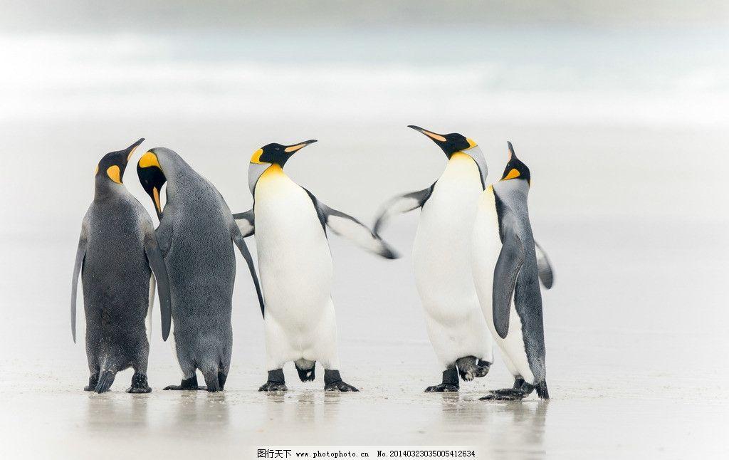 企鹅 南极企鹅 雪地 动物 野生动物 海洋生物 生物世界 摄影