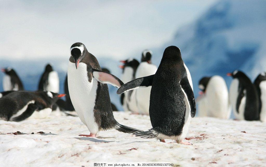 企鹅 南极企鹅 雪地 动物 野生动物 南极 海洋生物 生物世界 摄影 300