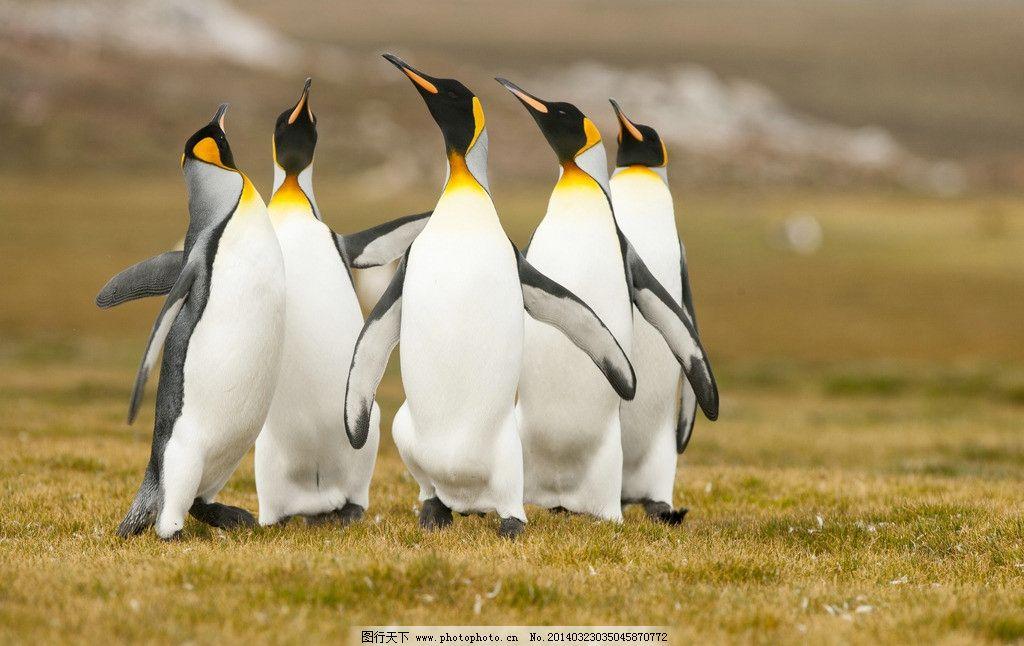 企鹅 南极企鹅 动物 野生动物 南极 海洋生物 生物世界 摄影 300dpi