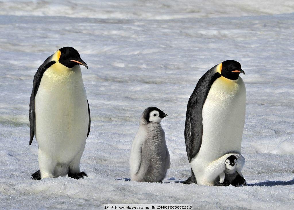 企鹅 南极企鹅 雪地 依偎着 保护着 动物 野生动物 母亲保护