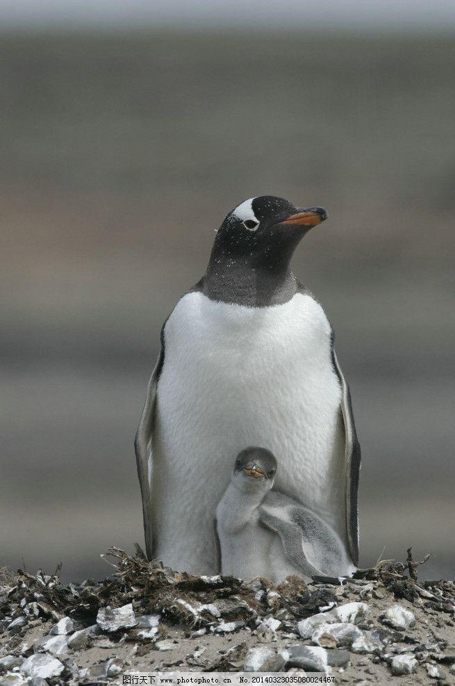 企鹅 南极企鹅 动物 野生动物 海洋生物 生物世界 摄影