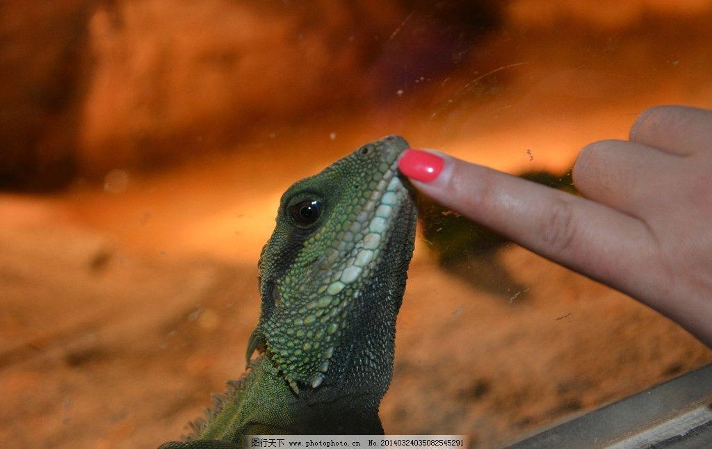 蜥蜴 动物园 喂食 生物 微距 野生动物 生物世界 摄影 300dpi jpg