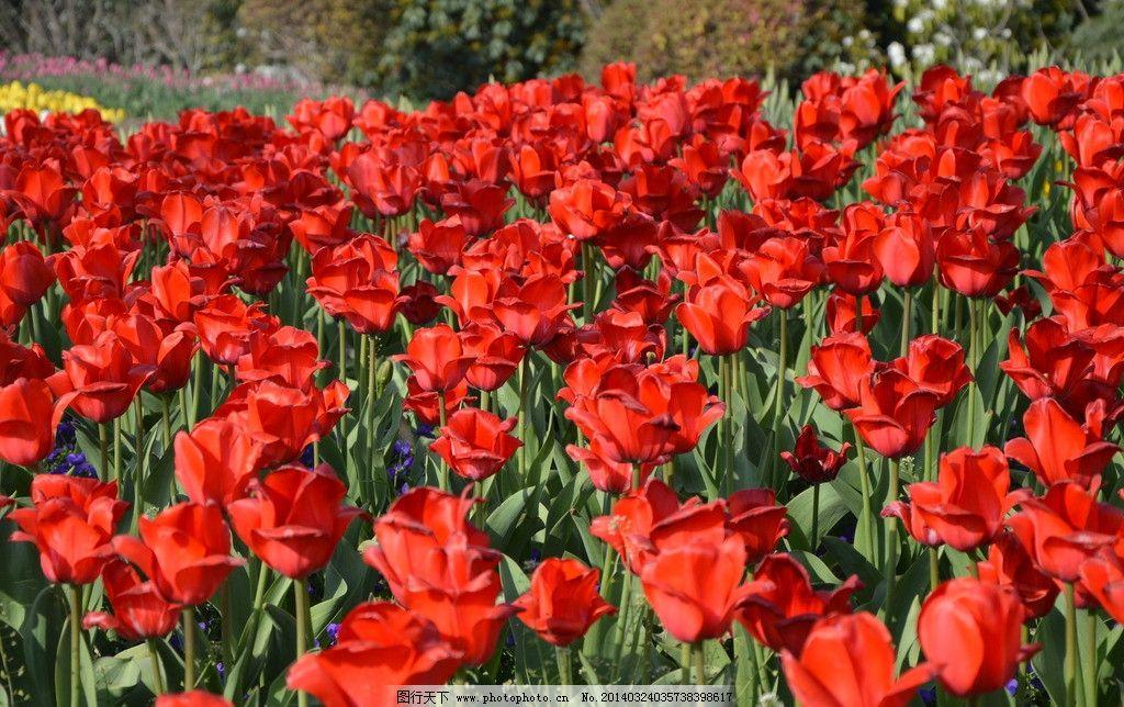 红色郁金香 郁金香图片 素材下载 郁金香 春天 花朵 花卉 花坪 花儿