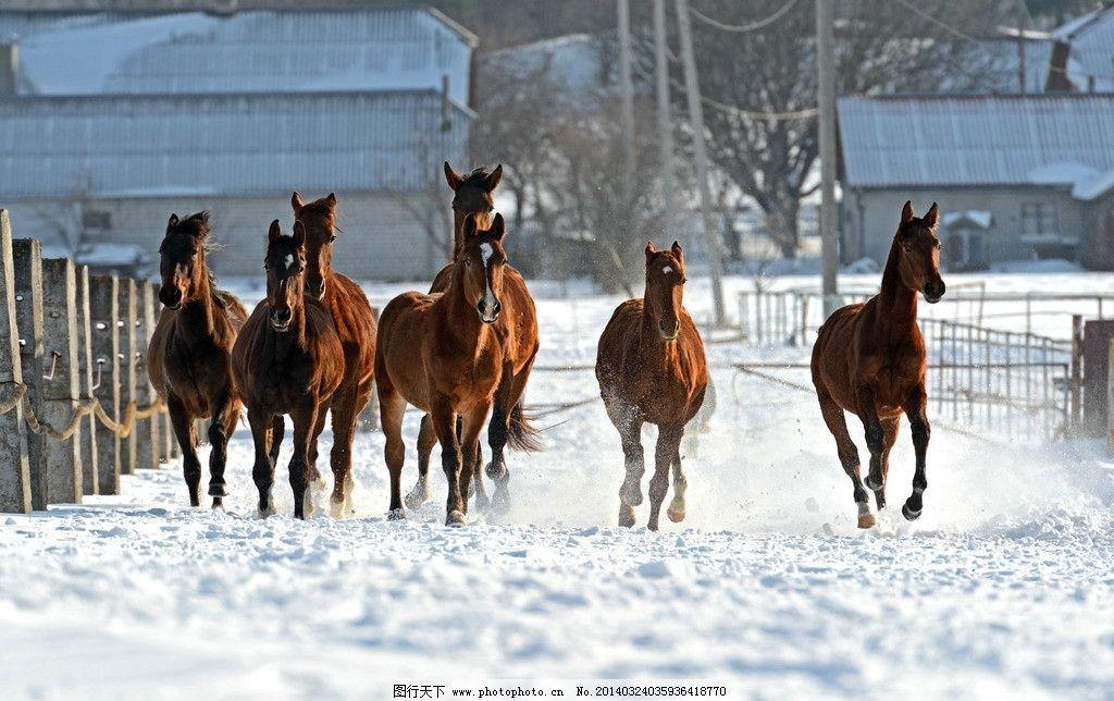 骏马 冬季 雪地 马群 奔跑 奔马 马匹 棕色 奔腾 动物 生物世界 家禽